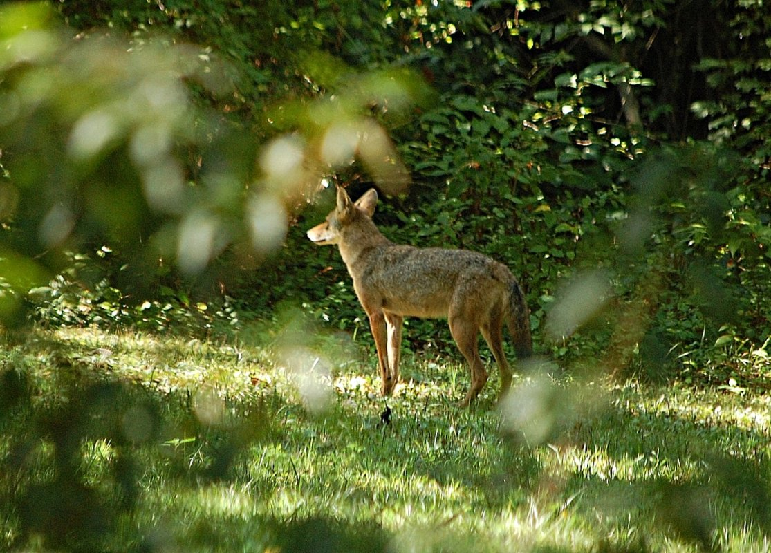 coyote 8:12A copy.JPG