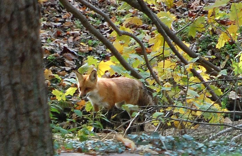 fox1 copy.jpg