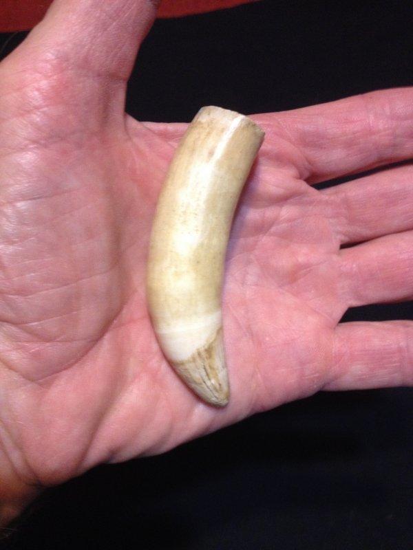 Gator Tooth .3.JPG