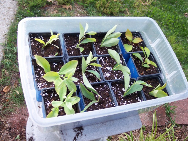 rooting blueberry cuttings.JPG
